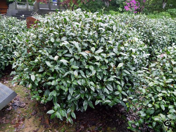 18本の茶樹の1つ