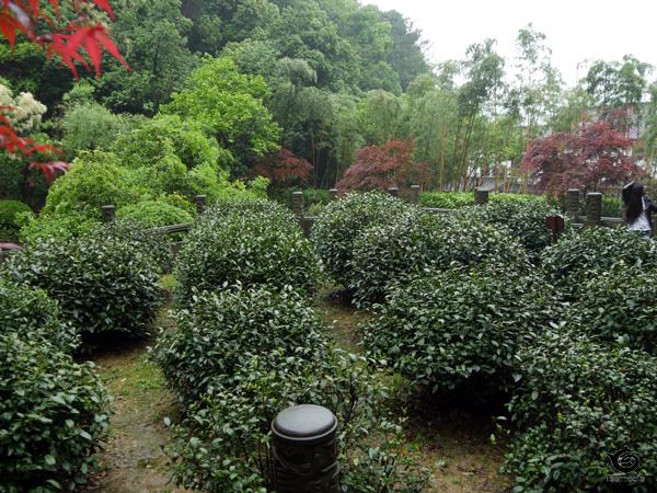 18本の茶樹を上から撮影
