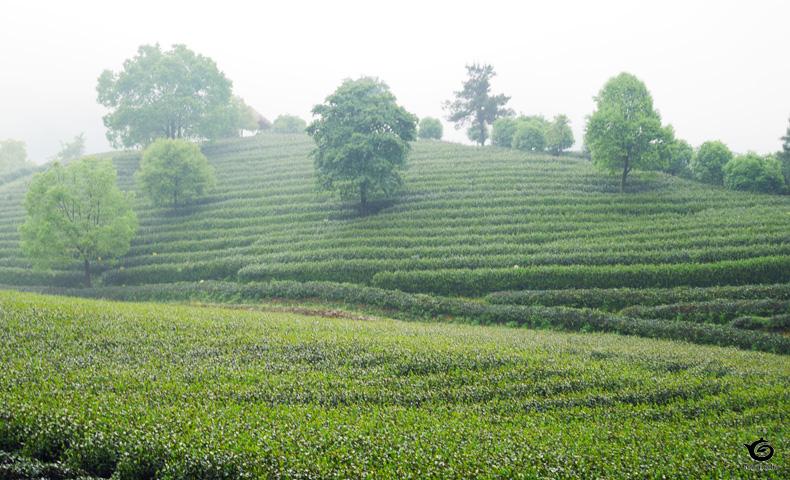 九曲紅梅の村の茶畑